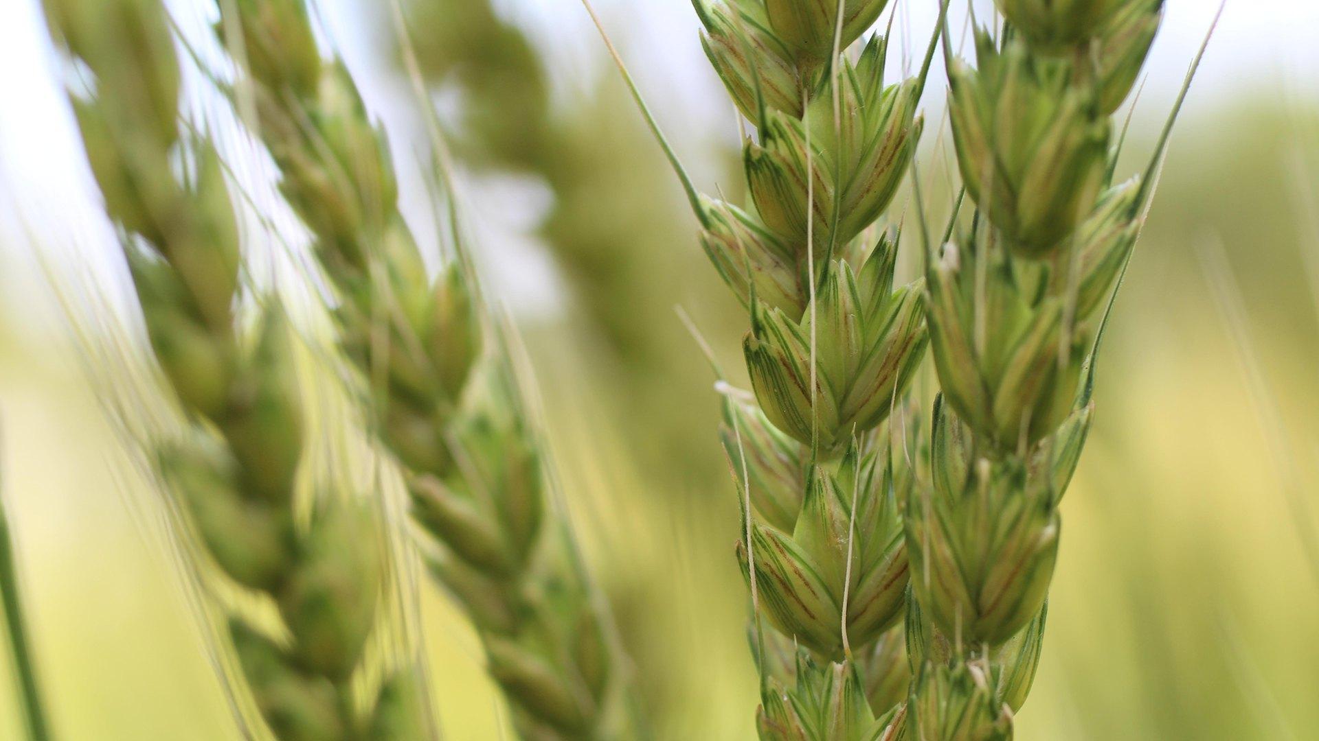 Hvete fra Morgueflue